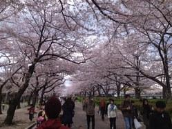 大川の桜2014